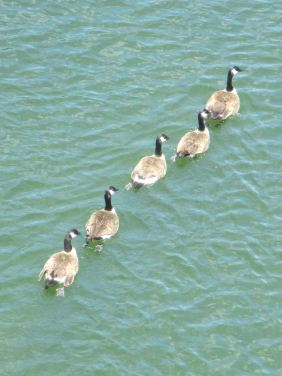 Canada Geese, American River, Fair oaks, Fair Oaks Bridge, swim, swimming, float, river, morning