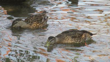 ducks, Canada Geese, Fair Oaks Bridge, American River, evening, scenic, walk, observation, wildlife