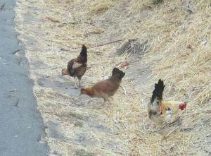 Fair Oaks, Fair Oaks Bridge, chickens, skinny, morning, American River, Bridge Street, breakfast, beaver, river, wildlife