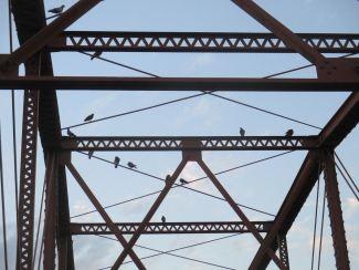 pigeons, American River, Fair Oaks Bridge, mornings, sunrise