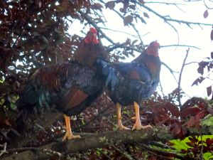 Fair Oaks Village, chickens, roosters, sing, symphony, morning, Fair Oaks Bridge, American River