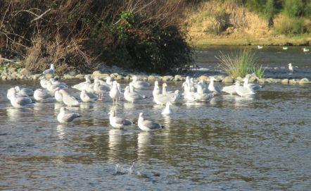 seagull, salmon, morning, Fair Oaks Bridge, American River, water, fishermen