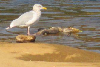 seagull, salmon, American River,