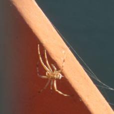 spider, Fair Oaks Bridge, mornings, American River