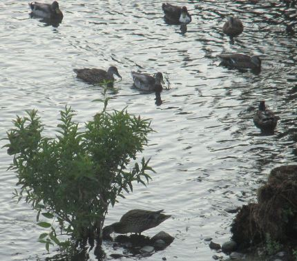 ducks, water, American River, Fair Oaks, Fair Oaks Bridge, rain