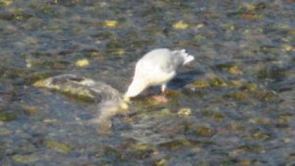 seagull, feast, mornings, Fair Oaks Bridge, salmon, Egret, Great Blue Heron, American River, fishermen
