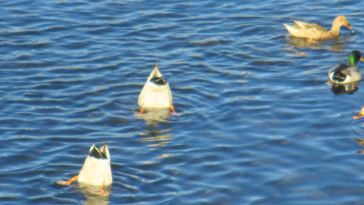 morning, Fair Oaks Bridge, American River, dunk ducks, Canada Geese, Mallards, falling leaves