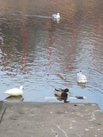 salmon, seagull, American River, feeding, Fair Oaks Bridge, Fair Oaks Bluffs, Muscovy duck,