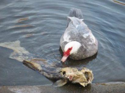 feeding, salmon, Muscovy duck, American River, Fair Oaks Bridge, Fair Oaks Bluffs, seagull, morning, writing, nature, outdoors