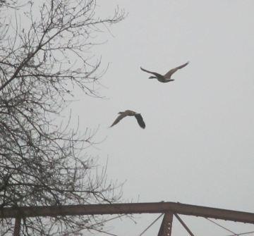 symphony,Canada Geese, morning, ducks, Fair Oaks Bridge, Fair Oaks, American River