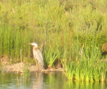 first ducklings, American River, Great Blue Heron, Fair Oaks Bridge, mornings, wildlife, water