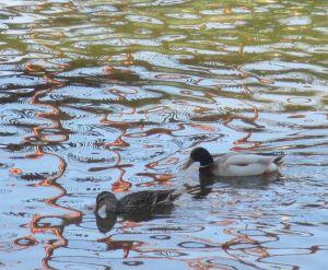 ducks, American River, Fair Oaks Bridge, Fair Oaksk mornings, nature,