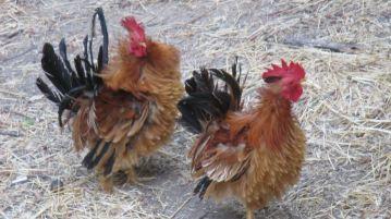 active, Fair Oaks, chickens, Fair Oaks Bridge, Bridge Street, mornings,