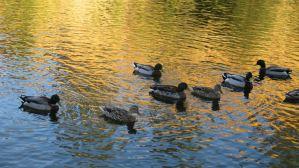 Mallard, duck, fishermen, American River, Fair Oaks Bridge, Fair Oaks Bluff, sunrise, water, nature, outdoor, photography