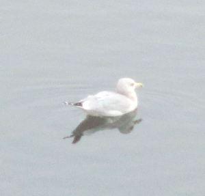 mornings, Fair Oaks Bridge, American River, water, nature, writing, outdoors, seagull. smoke, chill,