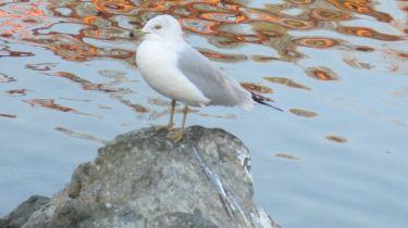 seagull, boat launch ramp, Fair Oaks Bridge, American River, mornings, nature, outdoors, water, misty morrnings