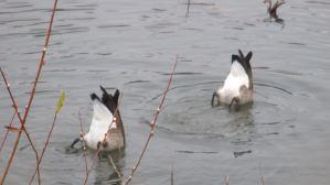Canada Geese, mornings, American River, water, Fair Oaks Bridge, beauty, peace, nature, outdoors, wildlife, waterfowl, ducks,