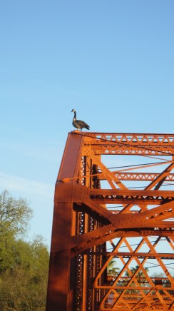 Canada Goose, mornings, Fair Oaks Bridge, American River, water, outdoors, nature, observation, write, beauty, Truss