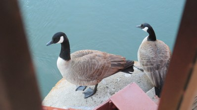 Canada Geese, Fair Oaks Bridge, pier, American River, mornings, nature, outdoors, beauty,