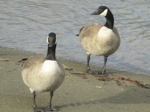 Canada Geese, mornings, Fair Oaks Bridge, boat launch ramp, beauty, scene, American River, honk