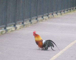 mornings, rooster, chickens, chicks, Fair Oaks Bridge, American River, Bridge Street