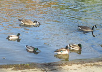 ducks, mornings, Fair Oaks Bridge, American River, water, wildlife, watefowl, boat launch ramp, outdoor, nature