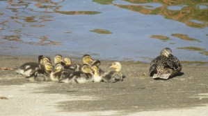 ducklings, Fair Oaks Bridge, mornings, American river, ducks, babies, boat launch ramp
