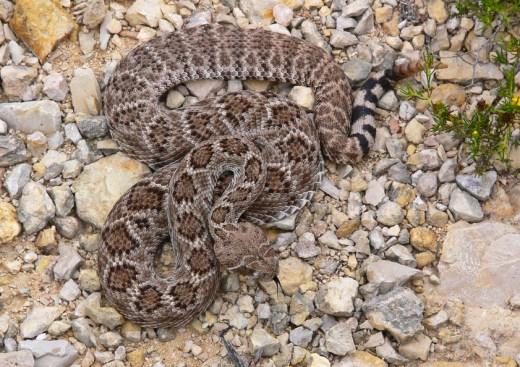 Western Diamondback Rattlesnakes 2