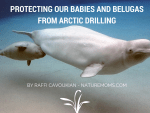 Protecting our Babies and Belugas from Arctic Drilling