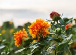 The Health Benefits of Organic Safflower Oil