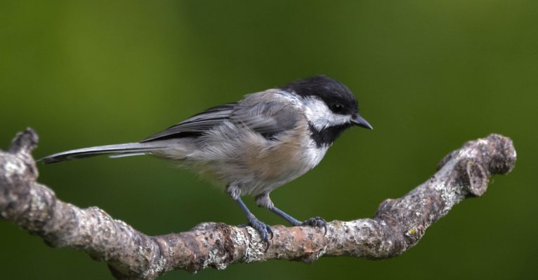 Neonicotinoids and Songbirds: Not only a threat to bees.