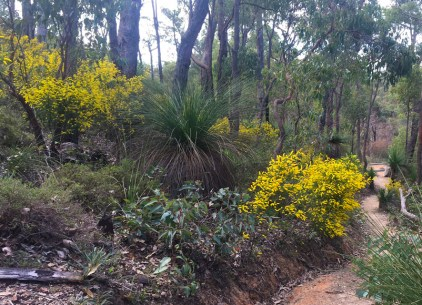 Wattle on Glen Brook Dam Trail