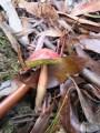 Rhubarb Bolete