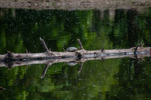 Turtle sunning on a log in the new wetland at The Highlands