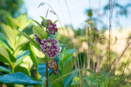 A monarch butterfly clings to milkweed at Flower Creek Dunes Nature Preserve.