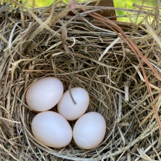 A rare white clutch of bluebird eggs. 4-5% of bluebirds lay white eggs. Image: Peggy Falk.