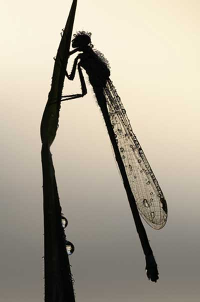 © all rights reserved Ross Hoddinot, BWPA, Damselfly silhouette