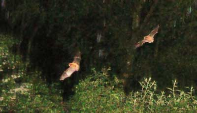Two bats in Cumbria