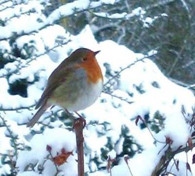 Flash the robin