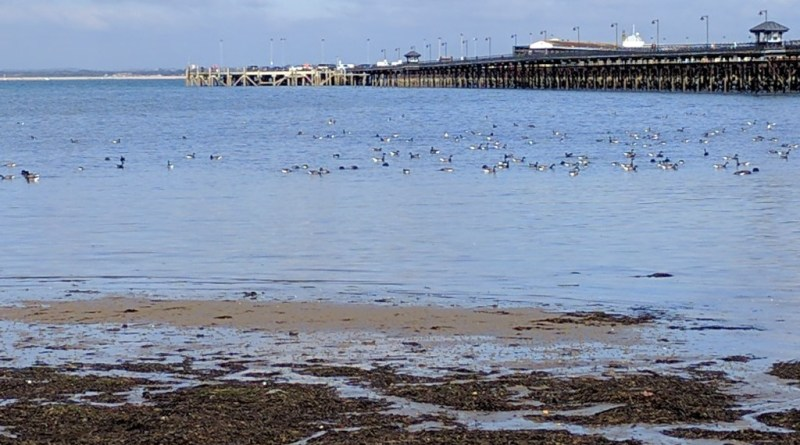 Brent geese at Ryde, October 2016