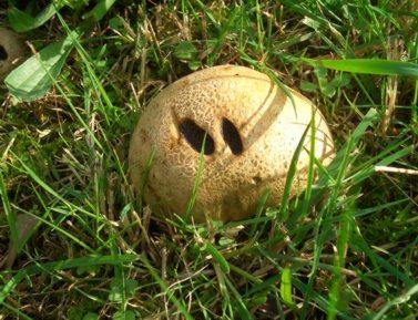 A mushroom that looks like a nose!