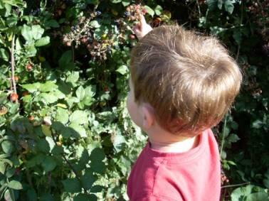 Blackberries for tea