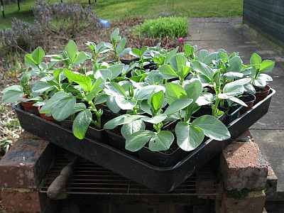 Hardy broad beans
