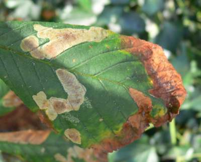 Leaves affected by Horse Chestnut Leaf Miner Cameraria ohridella