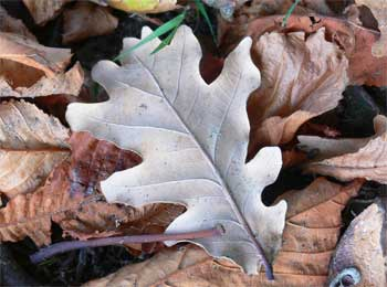 Oak leaf, Appley Park (c) The Cat