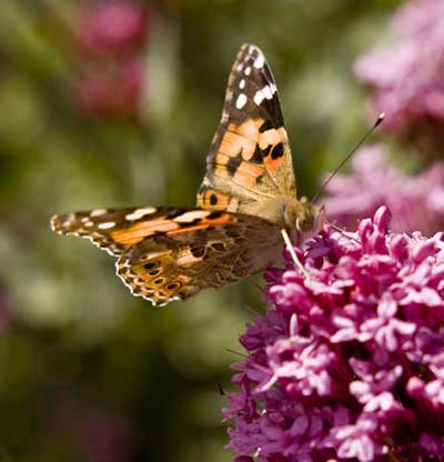 Painted Lady butterfly, Ryde, Isle of Wight (© Fay Woodford)