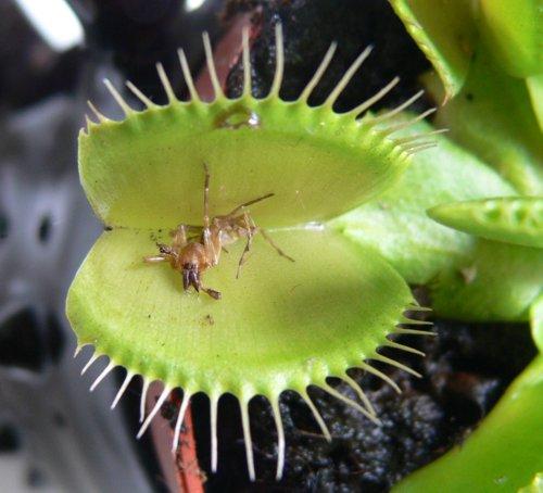 Drassodes sp in Venus flytrap