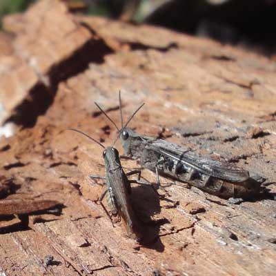 Grasshoppers, Quarr