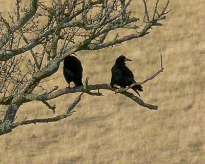 Ravens at Redcliff