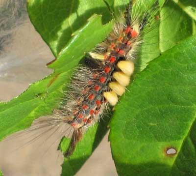 Orgyia antiqua larva